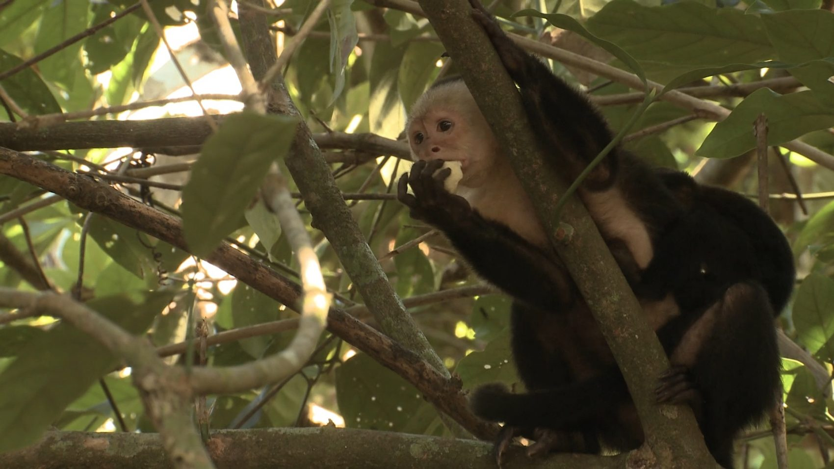 White Face Capuchin Monkey Wildlife - Rincon de la Vieja National Park Tours - Native's Way Costa Rica - Tamarindo Tours and Transfers